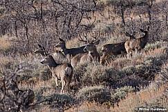 Mule Deer Buck 120917 3769