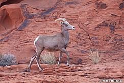 Big Horn Sheep 011313 0240