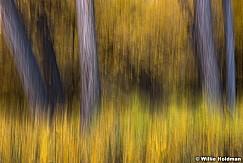 Yellow Cottonwood trunks Abstarct 101717 3292 2