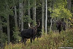Two Bull Moose 091717 0149