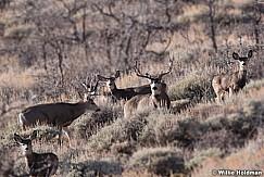 Mule Deer Buck 120917 3774