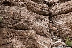 Desert BigHorn Grand Canyon 042417 7293