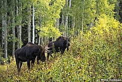 Two Bull Moose 091717 0234