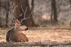 Mule Deer Buck 120917 4018