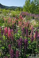 mtnwildflowers070908 3262