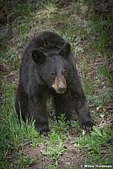 Black Bear Cub 050817 4734
