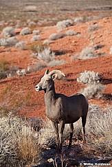 Bighorn Sheep Nevada 011113 436