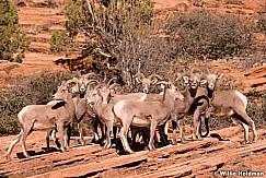 Big Horn Sheep 110513 9420