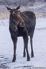 Moose Snow Dust 032618 7649