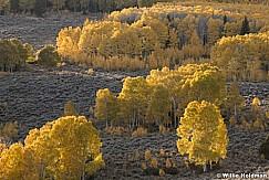 Layers of Yellow Aspens 100919 7200 2