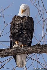 Bald Eagle 121920 5662 3 F
