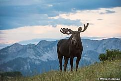 Crest Trail Moose 080516 9558 3