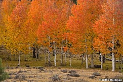 Red Boulder Aspens 1018 4651 2