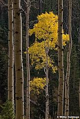 Lone Yellow Aspen 092520 0904 4