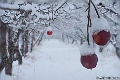 Forgotten Apple Orchard 122514