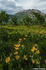 Timpanogos Yellow Daisies 061416 3 2