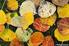Close Up Aspens Leaves 100115 3