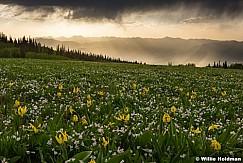 Yellow Glacier Lillies 061117 4212 2 3