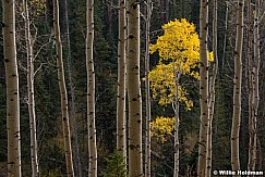 Lone Yellow Aspen 092520 0923 4