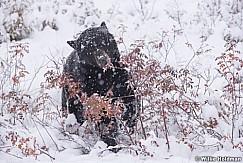 Black Bear Winter Berries 100118 6780