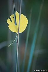 Aspen Leaf Grass 092720 1178 5 2