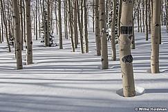 Winter Snow Aspens 010117 7726