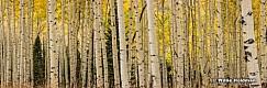AspenTrunks Forest 103115