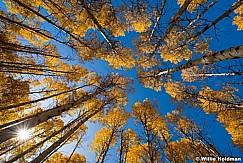 Looking Up Golden Aspens 101017 1005