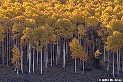 Yellow Aspen Grove Pan 100919 6920 2