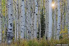 Aspen Grove Pine 091818 1252 3