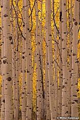Golden Aspen Lines Sunburst VERT092214 8638 2