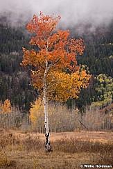 Red Aspen Tree 100818 9304 4