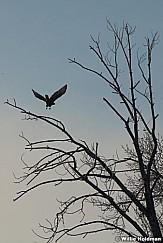 Golden Eagle 010413 171
