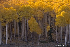 Yellow Aspen Grove 100919 6946 5