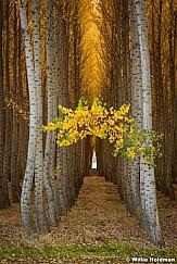 Poplar Tree Arch 102516 7210