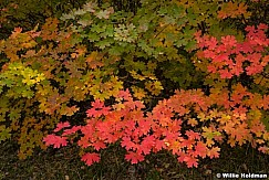 Colorful Maple Leaves 092817 5654