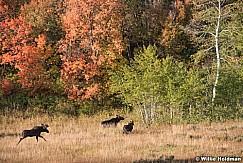 Moose Chase 092619 2805 2