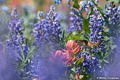 Timpanogos hummingbird 072916 5177 4