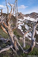 Mtn Goat Gnarley 060819 9940 2