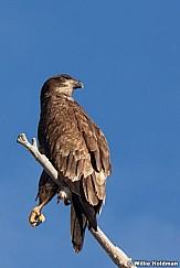 Golden Eagle 010613 330 2