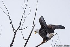 Bald Eagle 020720 8220