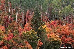Red Maples Pine 091920 9139 3