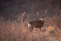 Mule Deer Buck 120917 3564
