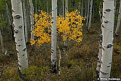 Yellow Aspen Tree 092810 2