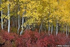 Yellow Red Aspens 100512