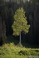 Lone Green Aspen 060518 9431