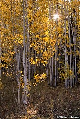 Yellow Aspen Lines sunburst 092214 8643 3