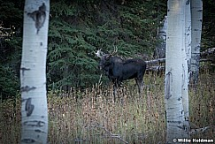 Moose Aspens Pines 092820 1405 4