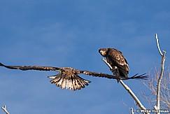 Golden Eagle 010613 333