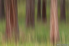 Ponderosa Pines Abstract 080913 2